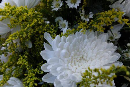 Chrysanthemum flowers Standard-Bild