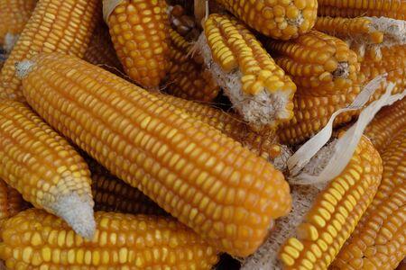 Dried Corn cobs Standard-Bild