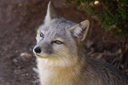Sitting Fox photo