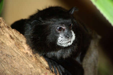 marmoset: Black-backed tamarin