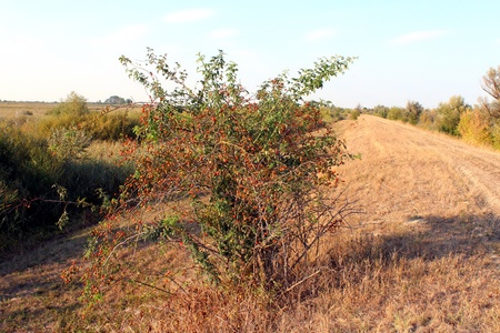 pomergranate: Tree of pomergranate Stock Photo