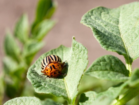The Colorado beetle sunbathing on the green potato leaf photo