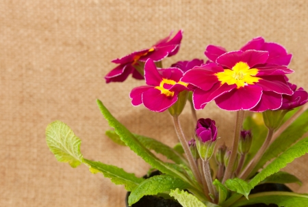 The primrose on the burlap background close-up photo