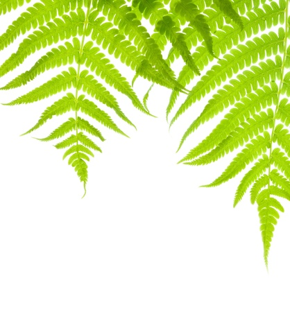 Background with two lush fern leaves photo
