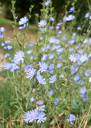 acuminate: The chicory herb growing wild on the meadow Stock Photo