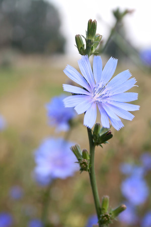 acuminate: Single chicory flower blossoming on the field