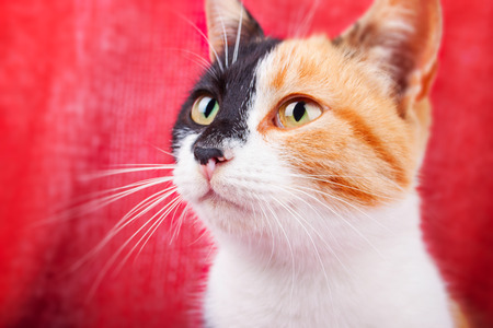 calico whiskers: Cute Calico Cat on the Brightly Red Background