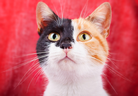 calico whiskers: Amusing and Funny Calico Cat Gazing Attentively Stock Photo