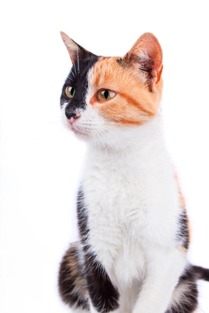 calico: Calico Cat Isolated on the White Background Stock Photo