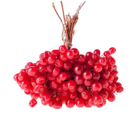 guelder: Ripe Guelder Berries, Isolated on White