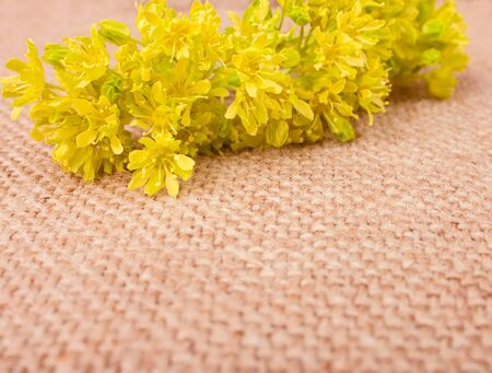 sheeted: Fragile Spring Yellow Flowers on the Sackcloth, Close Up