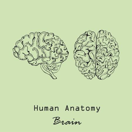 Handdrawn Human Brain Vector illustration on green background. Illustration