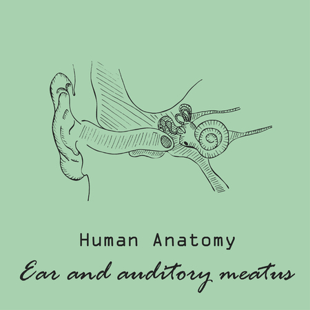 Hand drawn human external auditory heatus illustration.