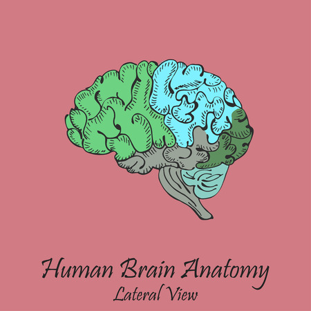 Hand Drawn Coloured Human Brain. Lateral View Illustration