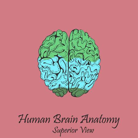 Hand Drawn Coloured Human Brain. Superior View
