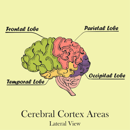Coloured Human Brain Areas. Lateral View