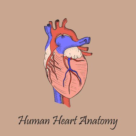 Hand Drawn Coloured Human Heart