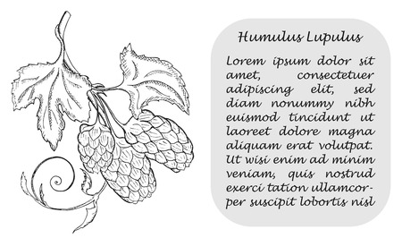 Banner with Black Branch of Hop with Cones. Square Substrate with Place for Description. Herbal with Latin Name Humulus Lupulus. Sketch Style Vector. Herbal Medicine and Food Industry Component. Иллюстрация