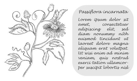 Banner with Black Branch of Purple Passionflower. Square Substrate with Place for Description. Herbal with Latin Name Passiflora Incarnata. Sketch Style Vector. Sedative Herbal Medicine Component. Иллюстрация