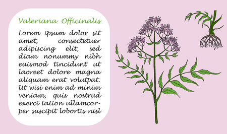 Banner with Colored Branch of Valerian and it Root. Square Substrate with Place for Description. Herbal with Latin Name Valeriana Officinalis. Herbal Medicine Component with Wide Range of Application.