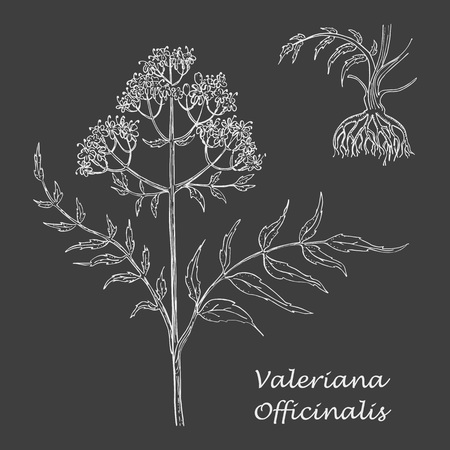 White Chalk Hand Drawn Branch Valerian with Roots