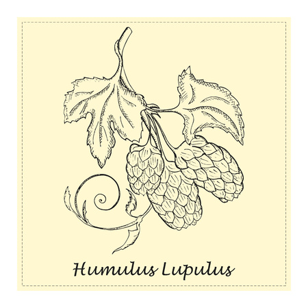 Hand Drawn Black Branch of Hop with Cones Placed on the Square Substrate with Dotted Frame. Vintage Sketch Style Vector Illustration. Herbal Medicine and Food Industry Component.