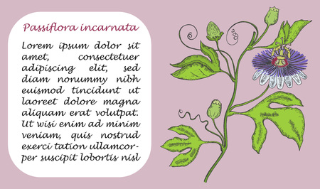 Banner with Colored Branch of Purple Passionflower. Square Substrate with Place for Description. Herbal with Latin Name Passiflora Incarnata. Sketch Style Vector. Sedative Herbal Medicine Component.
