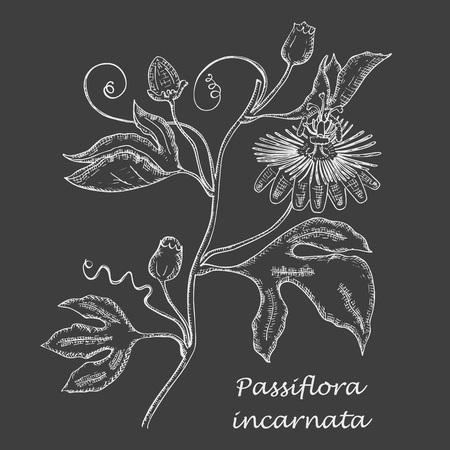 Branche dessinée à la main de passiflore pourpre faite comme peinte à la craie blanche sur le tableau noir. Herbal avec le nom latin Passiflora Incarnata. Composante de l'industrie de la phytothérapie sédative.
