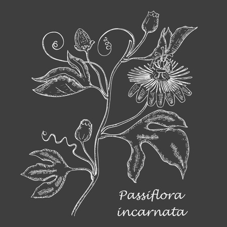 Hand Drawn Branch of Purple Passionflower made as Painted with White Chalk on the Blackboard. Herbal with Latin Name Passiflora Incarnata. Sedative Herbal Medicine Industry Component.
