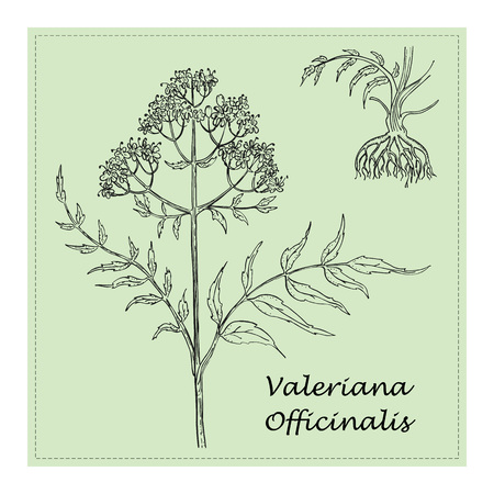 Hand Drawn Black Branch of Valerian with Roots Placed on the Square Substrate with Dotted Frame. Herbal with Latin Name Valeriana Officinalis. Herbal Medicine Component with Wide Range of Application. Vetores
