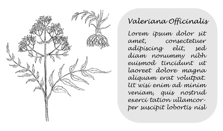 Banner with Black Branch of Valerian with Roots. Square Substrate with Place for Description. Herbal with Latin Name Valeriana Officinalis. Herbal Medicine Component with Wide Range of Application.
