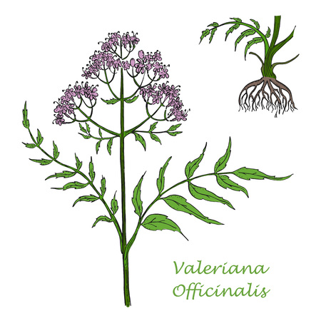 Hand Drawn Colored Branch of Valerian with Root Isolated on the White Background. Herbal with Latin Name Valeriana Officinalis. Herbal Medicine Component with Wide Range of Application. 矢量图像