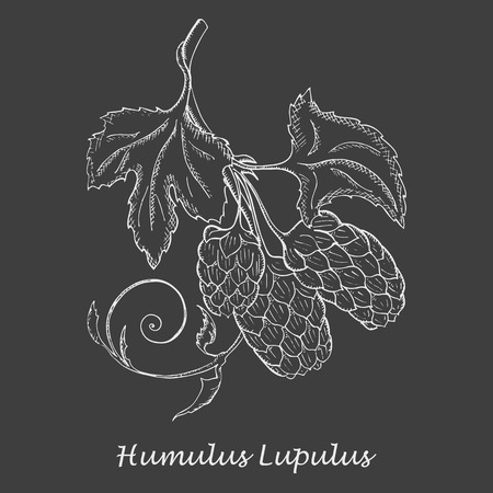 Hand Drawn Branch of Hop with Cones made as Painted with White Chalk on the Blackboard. Herbal with Latin Name Humulus Lupulus. Sketch Style Vector. Herbal Medicine and Food Industry Component.