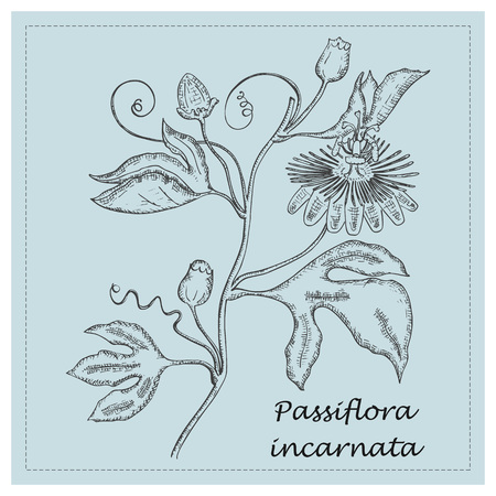 Hand Drawn Black Branch of Purple Passionflower Placed on the Square Substrate with Dotted Frame. Herbal with Latin Name Passiflora Incarnata. Herbal Medicine Industry Component. Иллюстрация