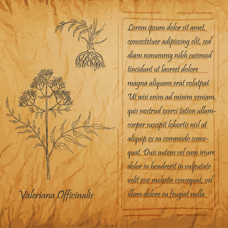 Banner with Black Stem of Valerian with Roots. Square Handdrawn Frame with Text. Herbal with Latin Name Valeriana Officinalis. Vintage Leaflet for Herbal Medicine, Cosmetology, Food Industry.
