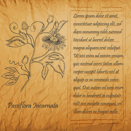 Banner with Black Branch of Maypop. Square Handdrawn Frame with Text. Herbal with Latin Name Passiflora Incarnata. Vintage Old Paper Texture. Leaflet for Herbal Medicine, Cosmetology, Food Industry.