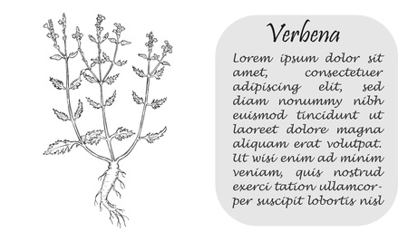 Banner with Black Bush of Verbena or Vervain. Square Substrate with Place for Description. Sketch Style Vector Illustration. Leaflet, Flyer, Banner for Herbal Medicine, Cosmetology, Food Industry.