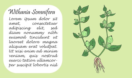 Banner with Colored Bush of Ashwagandha. Square Substrate with Place for Description. Herbal with Latin Name Withania Somnifera. Leaflet, Flyer, Banner for Traditional Herbal Medicine.