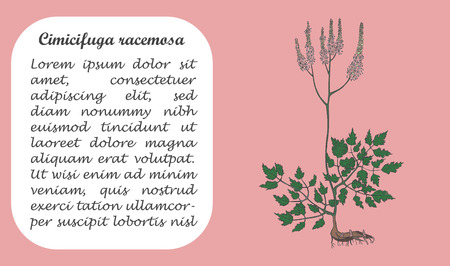 Banner with Colored Bush of Actaea Racemosa. Square Substrate with Place for Description. Herbal with Latin Name Cimicifuga Racemosa .Component for Traditional Herbal Medicine.