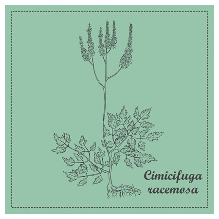 Hand Drawn Black Branch of Black Cohosh Placed on the Square Substrate with Dotted Frame. Herbal with Latin Name Cimicifuga Racemosa. Component for Traditional Herbal Medicine
