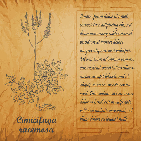 Banner with Bush of Herbal Known as Cimicifuga Racemosa, Actaea Racemosa, Black Cohosh, Black Bugbane, Black Snakeroot, Fairy Candle. Square Handdrawn Frame with Text. Vintage Old Paper Background. Ilustração
