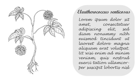 Banner with Herbal Known as Eleutherococcus Senticosus , Siberian Ginseng, Eleuthero, Ciwujia, Devils Shrub, Shigoka, Touch-me-not, Wild pepper, Kan jang. Traditional Medicine Component