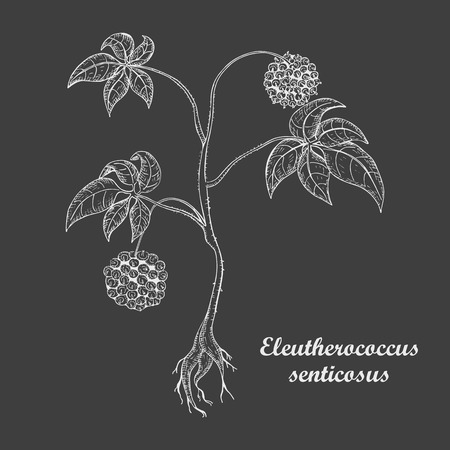 Hand Drawn Bush of Herbal Known as Eleutherococcus Senticosus , Siberian Ginseng, Eleuthero, Ciwujia, Devils Shrub, Shigoka, Touch-me-not, Wild pepper, Kan jang. Made in White on Dark Background.
