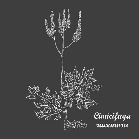 Hand Drawn Bush of Herbal Known as Cimicifuga Racemosa, Actaea Racemosa, Black Cohosh, Black Bugbane, Black Snakeroot, Fairy Candle. Made in White on Dark Background. Traditional Medicine Component Ilustração