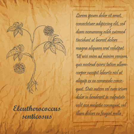 Bush of Herbal Known as Eleutherococcus Senticosus , Siberian Ginseng, Eleuthero, Ciwujia, Devils Shrub, Shigoka, Touch-me-not, Wild pepper, Kan jang. Handdrawn Frame and Vintage Old Paper Texture Ilustração