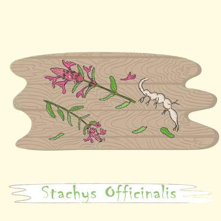 Root and Stems of the betony Plant on the Wooden Cutting Board. Curved Shape of the Board with Wood Texture. Herbal with Latin Name Stachys Officinalis. Leaflet for Traditional Herbal Medicine. Ilustração