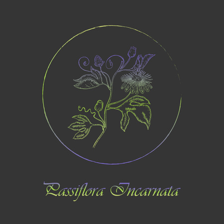 Contour Maypop Plant Colored with Vibrant Gradient and Placed in Round Brush Painted Frame. Passiflora Incarnata Latin Name Colored with Gradient. Dark Grey Background. Label for Traditional Medicine. Illustration