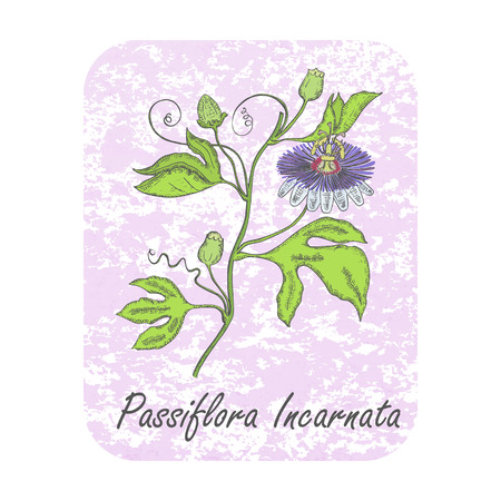 Colored Herbal Plant Maypop on the Textured Substrate made as Rounded Rectangle. Thin Paper Substrate on the White Background. Herbal Plant with the Latin Name Passiflora Incarnata.