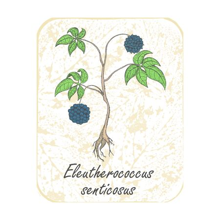 Colored Herbal Siberian Ginseng on the Textured Substrate made as Rounded Rectangle. Semitransparent Substrate with Leaf Imprints on the White Background. Herbal Plant with the Latin Name Eleutherococcus Senticosus