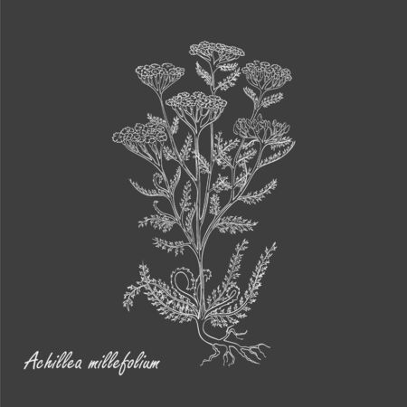 Hand Drawn Bush of Common Yarrow made as Painted with White Chalk on the Blackboard. Herbal with Latin Name Achillea millefolium. Sketch Style Vector. Herbal Medicine and Food Industry Component. Foto de archivo - 132012019